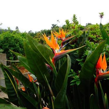 Santana flowers